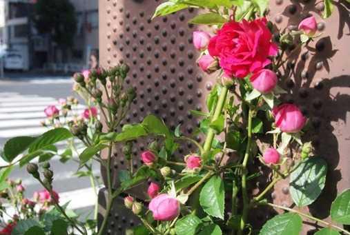 道端のバラ