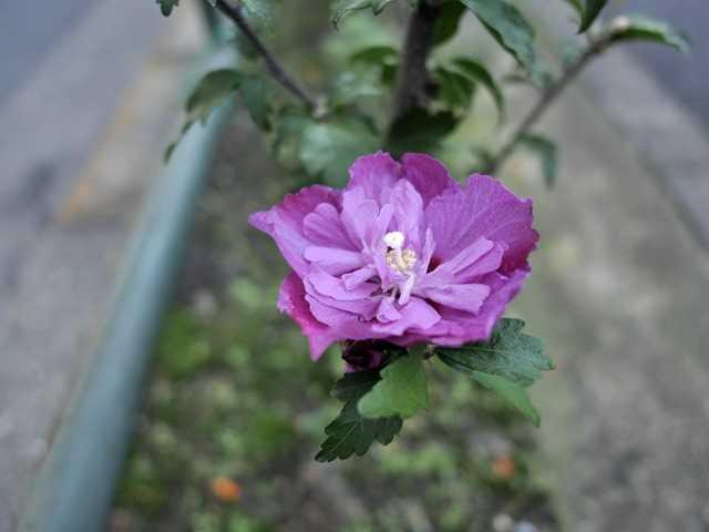 道端の花[6]