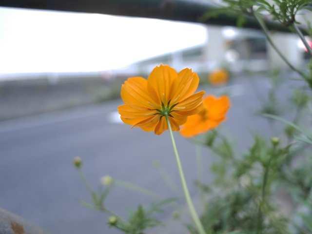道端の花[8]