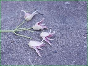 白いタコ星人花